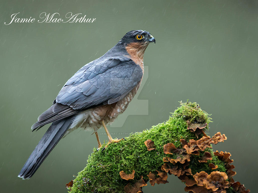Sparrow hawk in the rain by Jamie-MacArthur