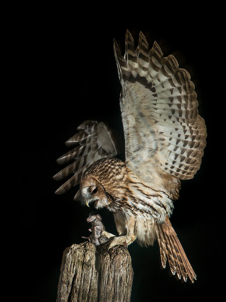 Last gasp - Tawny Owl and wood mouse by Jamie-MacArthur