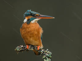 Kingfisher in the rain by Jamie-MacArthur