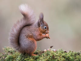 Nuts, Nuts, Nuts - Red Squirrel by Jamie-MacArthur