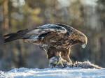 Wild Golden Eagle with Pine Marten