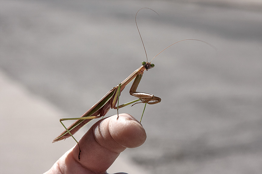 Praying Mantis by TowiWakka