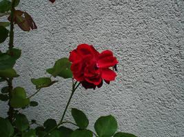 flower stock I by mercscilla