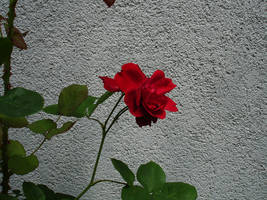 flower stock III by mercscilla