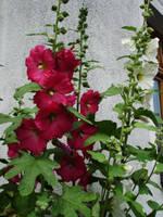 flower stock V by mercscilla