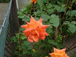 flower stock IX by mercscilla
