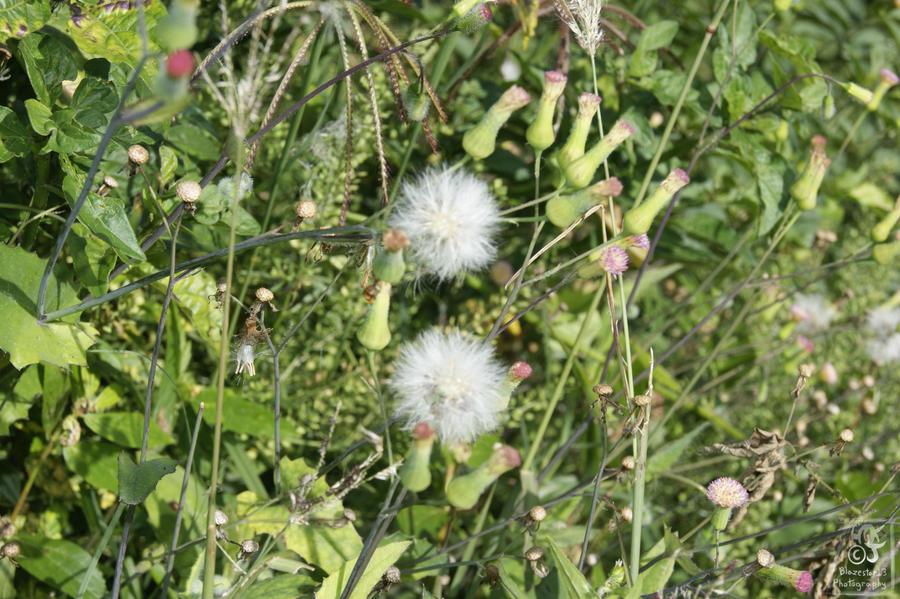 White puffy flowers by blazestar13 on deviantart white puffy flowers by blazestar13 mightylinksfo