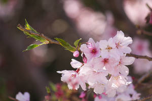 Blossoms by sabisabi1