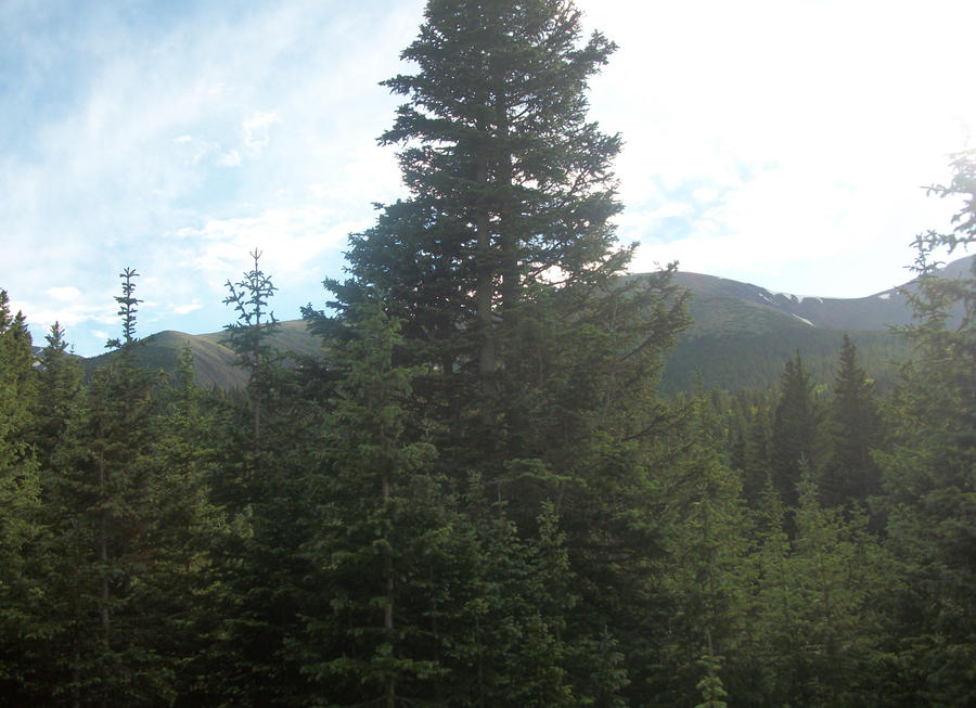 Evergreen Forest Stock 10