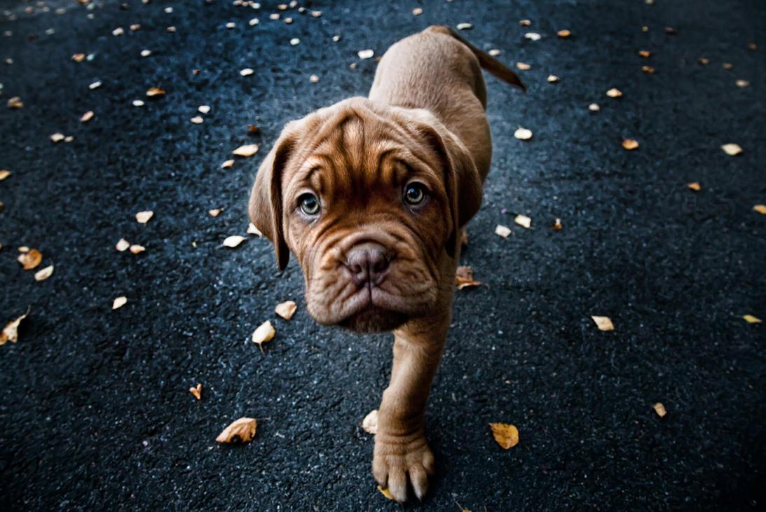 Bordeaux puppy 1 by mikkolo77