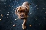 Bordeaux puppy 1