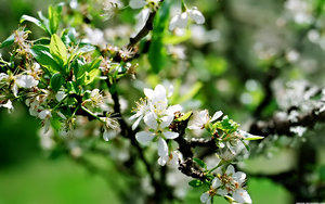 Apple_Blossom_by_SaleMK