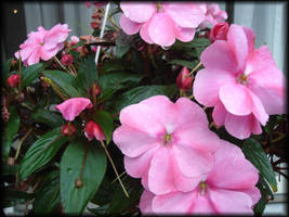 Pink Beauties 2 by im1happy