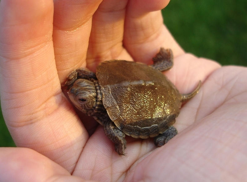 Baby Turtle by MapleRose