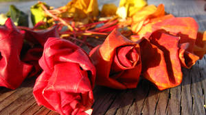 Rainbow Maple Roses