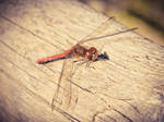 -red.dragonfly-