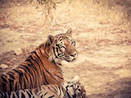 -tiger.1-