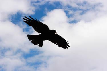 -black.bird-