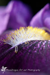 Purple and Yellow by StMongo