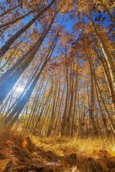 Autumn Giants by tassanee