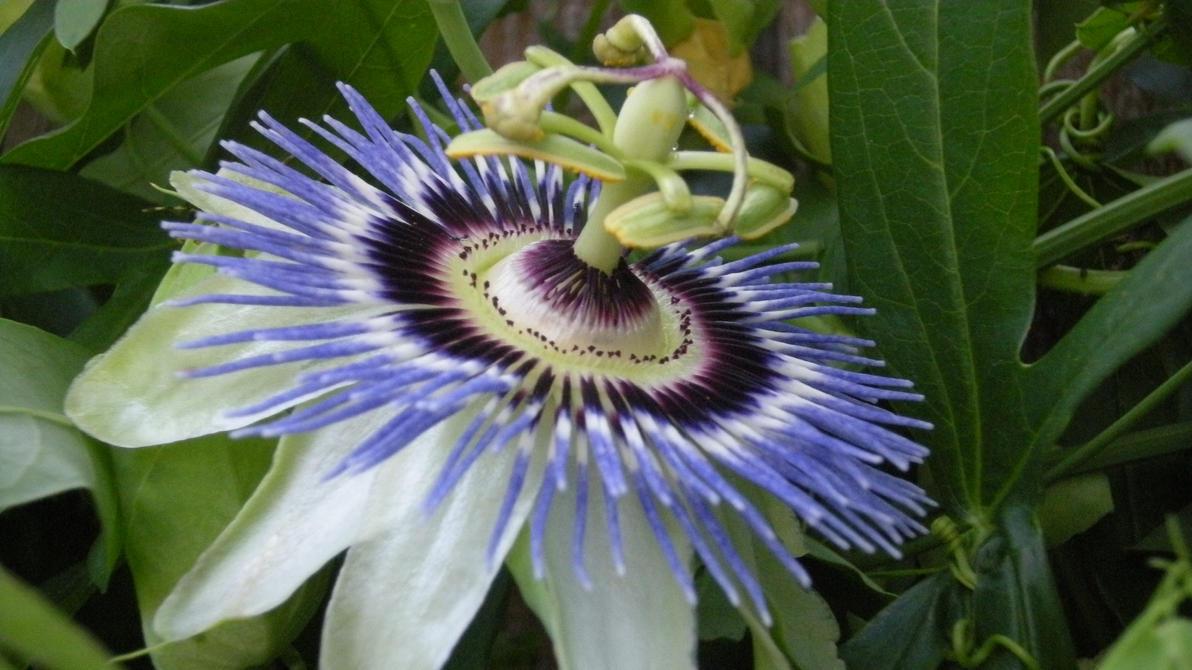 Blue Crown Passion Flower By Shammerschmidt On Deviantart