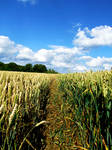 Corn Pathway