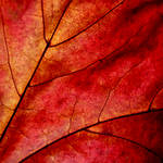 Phoenix of Autumn