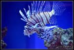 Lionfish by laurensconcepts