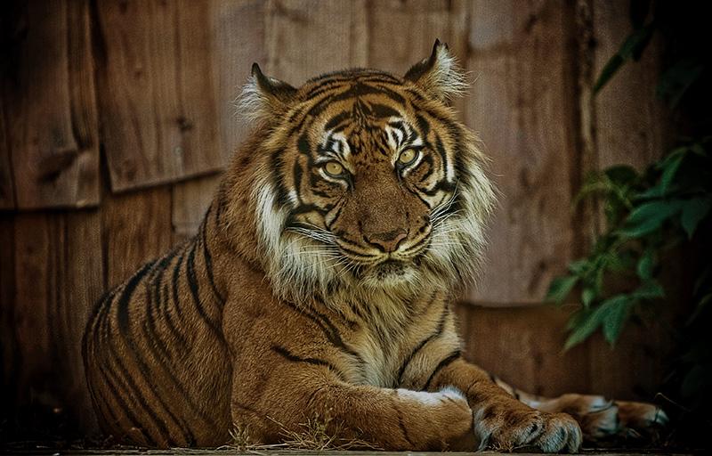 Tiger by fbuk