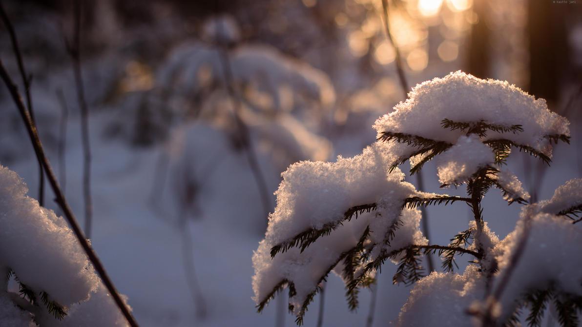 Snowy pine by Maizzi