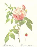 Rosa Indica fragrans by jinifur