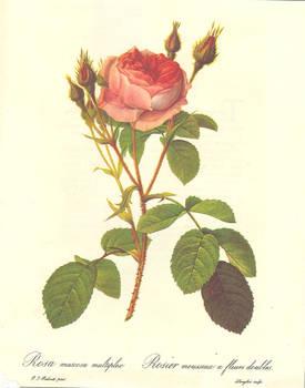Rosa muscosa multiplex