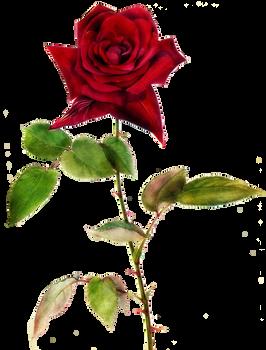 Jinifur Red Red Rose