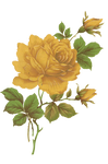 Jinifur Yellow Rose