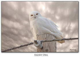 Snowy Owl Canada by pictureguy