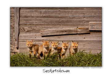 Curious Fox Cubs by pictureguy