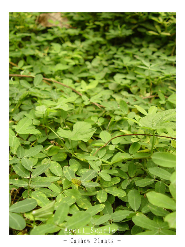 Cashew Plants by agentscarlet