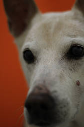 Dingo Portrait on Orange