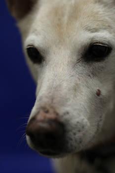 Dingo Portrait on Blue