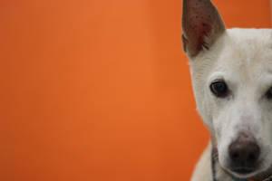 Dingo Orange Background