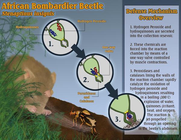 Bombardier beetle defense - photo#13