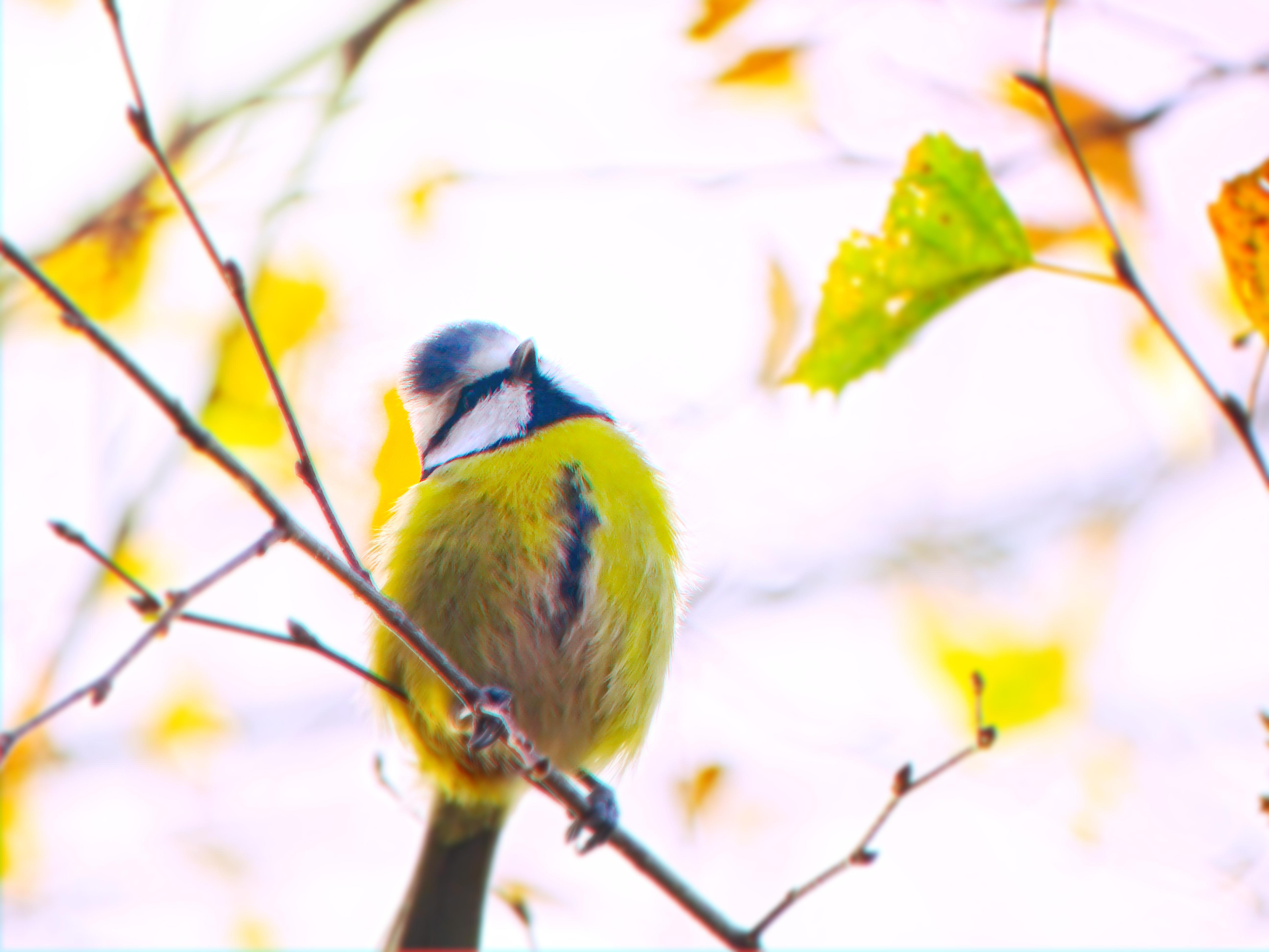 Blue tit bird by Gintesa