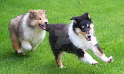 Lassie Collie Pups by TheJenGenie