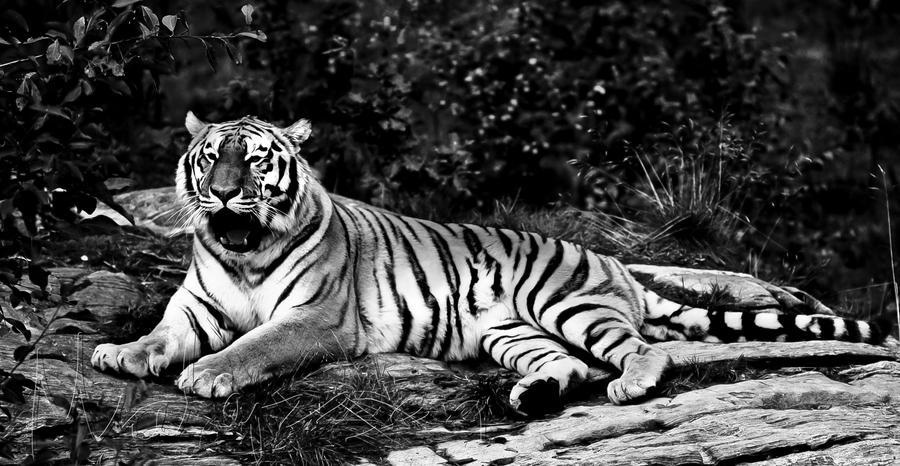 Красивые мой тигр