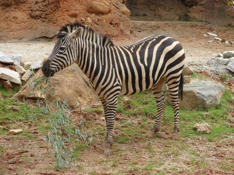 zebra by photorox33
