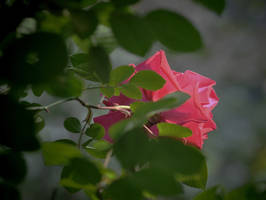 View of a Rose by Tailgun2009