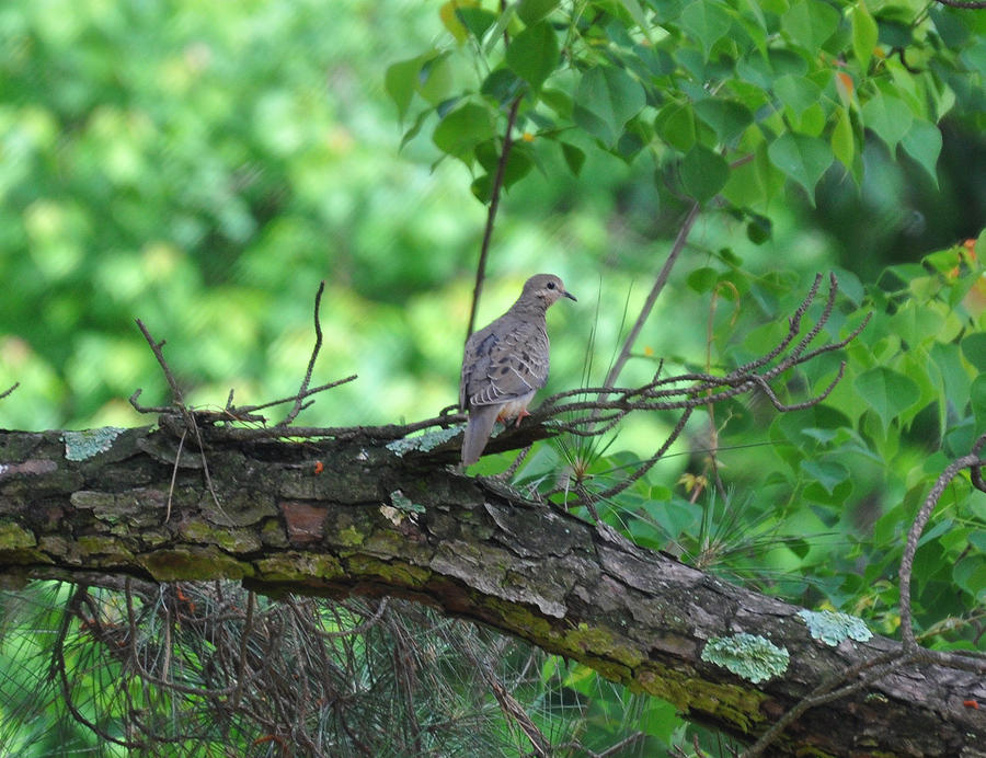 Dove in a tree 2 by Tailgun2009