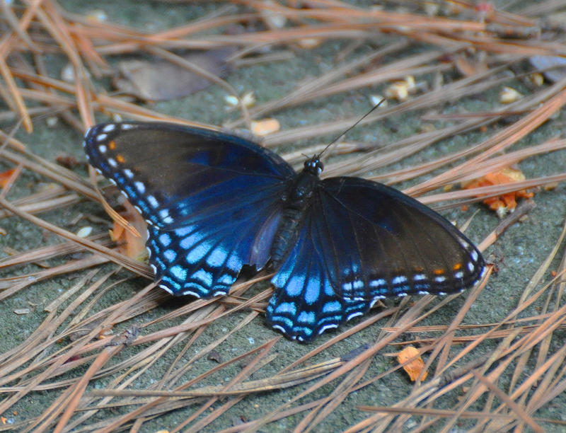 Butterfly 9-8-10 by Tailgun2009