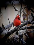 Justa Cold Cardinal