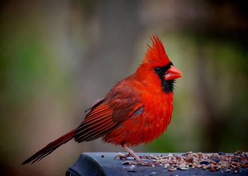 Just another Cardinal